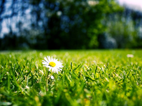 Daisy in a lawn looking fresh to show that writing web content must always be fresh