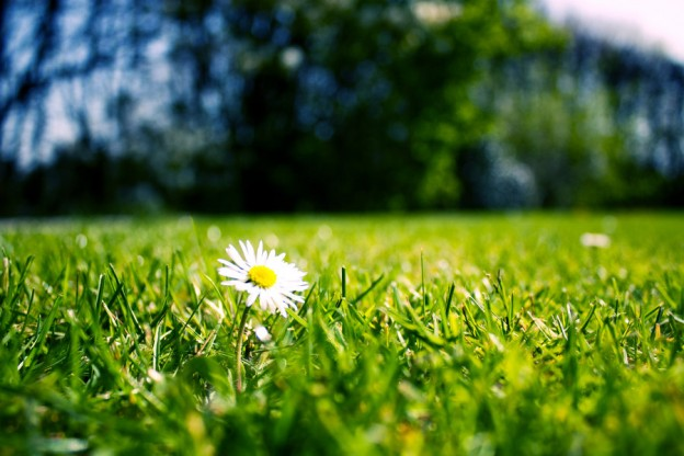 Daisy in a lawn looking fresh to show that writing web content must always be fresh, which is a tip from Caroline Gibson's blog on how to choose SEO keywords