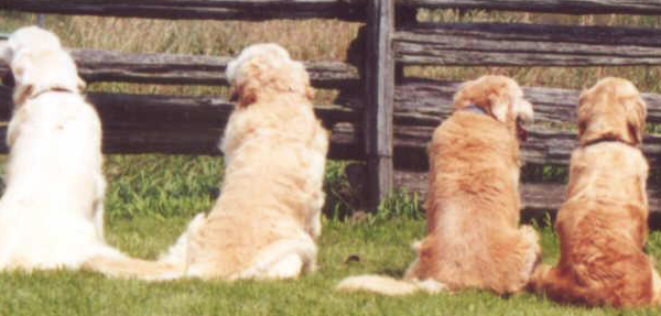 Photo of a row of dogs behind fence ranging from white to gold to show the point in Caroline Gibson's tone of voice and copy style article that you can stand out in a crowd and in your business tone of voice
