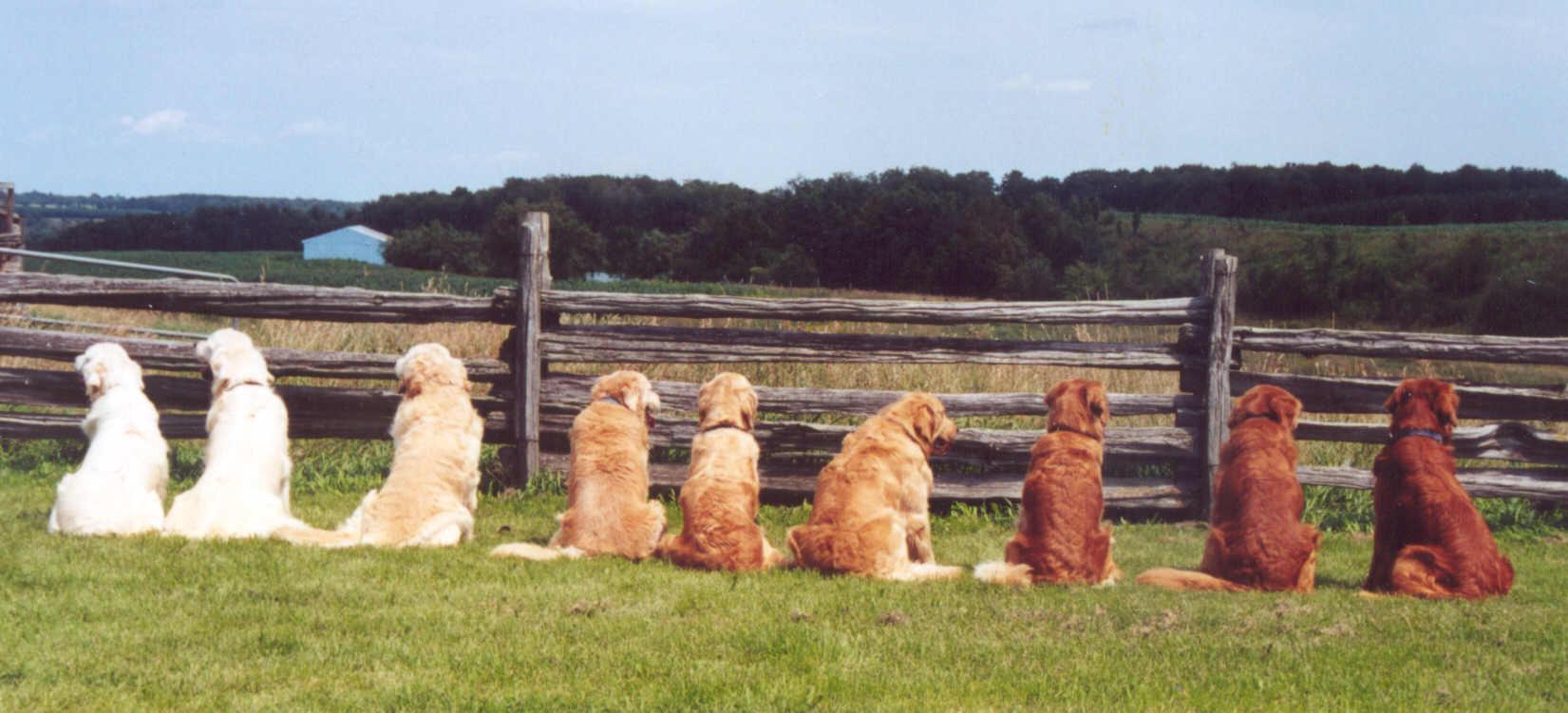Photo of a row of dogs, viewed from behind in a field, in shades from white to dark brown to illustrate the point in Caroline Gibson's blog on tone of voice that you can be different and distinctive in your brand tone of voice